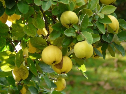 Quinces on a tree