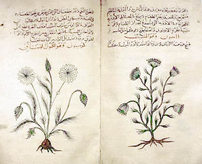 Arabic descriptions of cumin (right) and dill (left) in a 14th-century translation of Dioscorides Materia Medica, with ink illustrations of the flowers