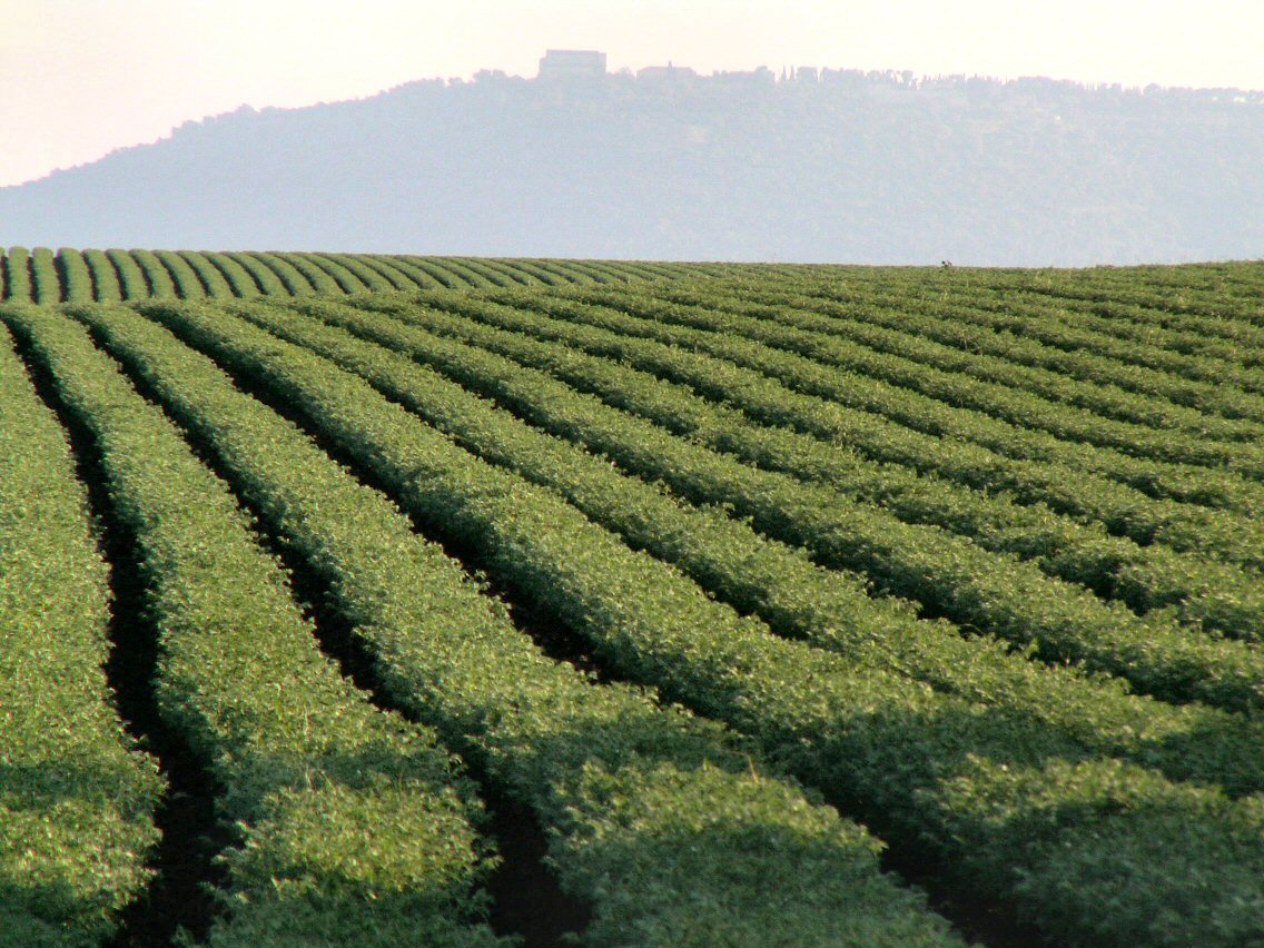 A chickpea field in Israel with a hill in the background