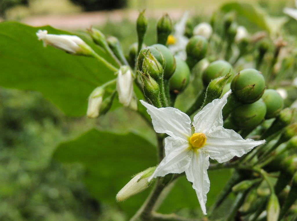 White, five-petaled flower of a wild eggplant, with little green fruit behind.