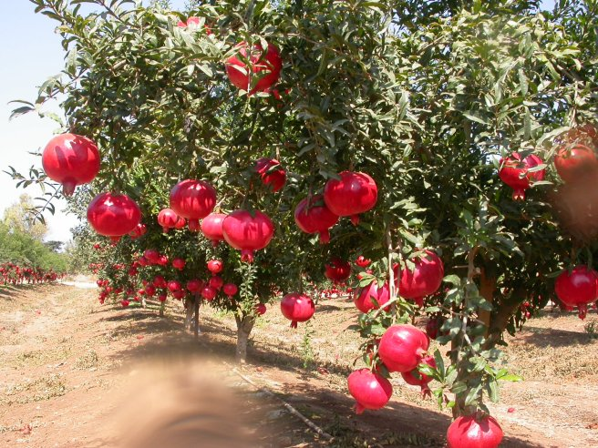 Pomegranates on a tree in an orchard