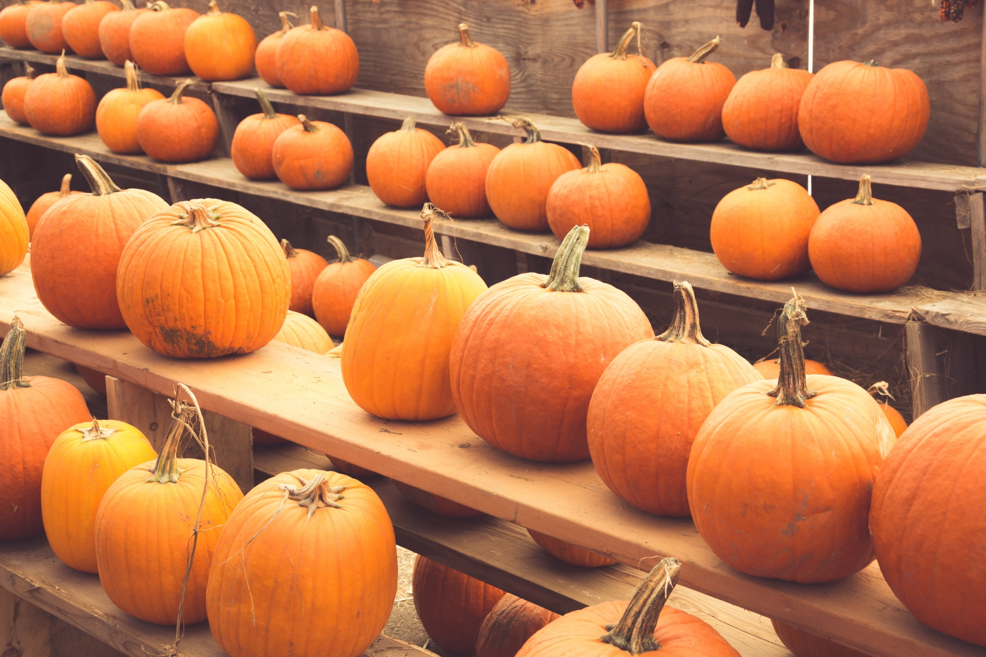 Pumpkins on wooden shelves arranged in rows