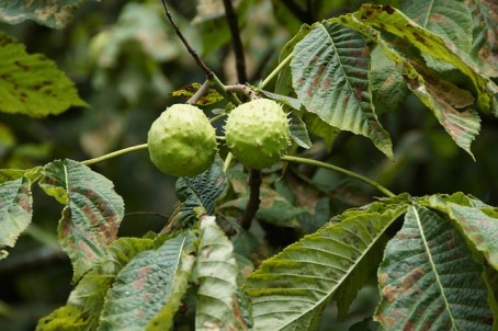 chestnuts on a tree, still in their spiky green outer shell
