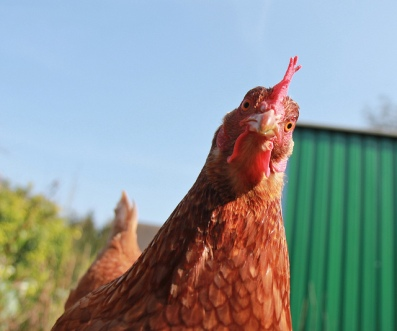 Confused chicken looking quizzically at camera