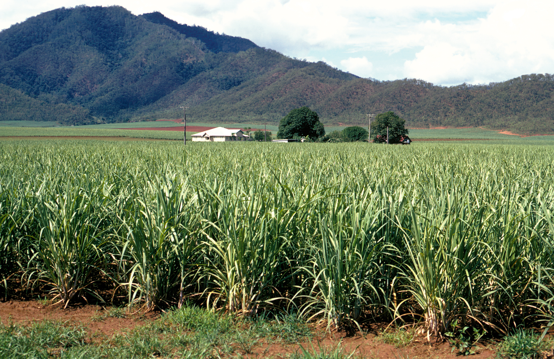 Sugar cane crop with mountain in background at Cairns, QLD.
