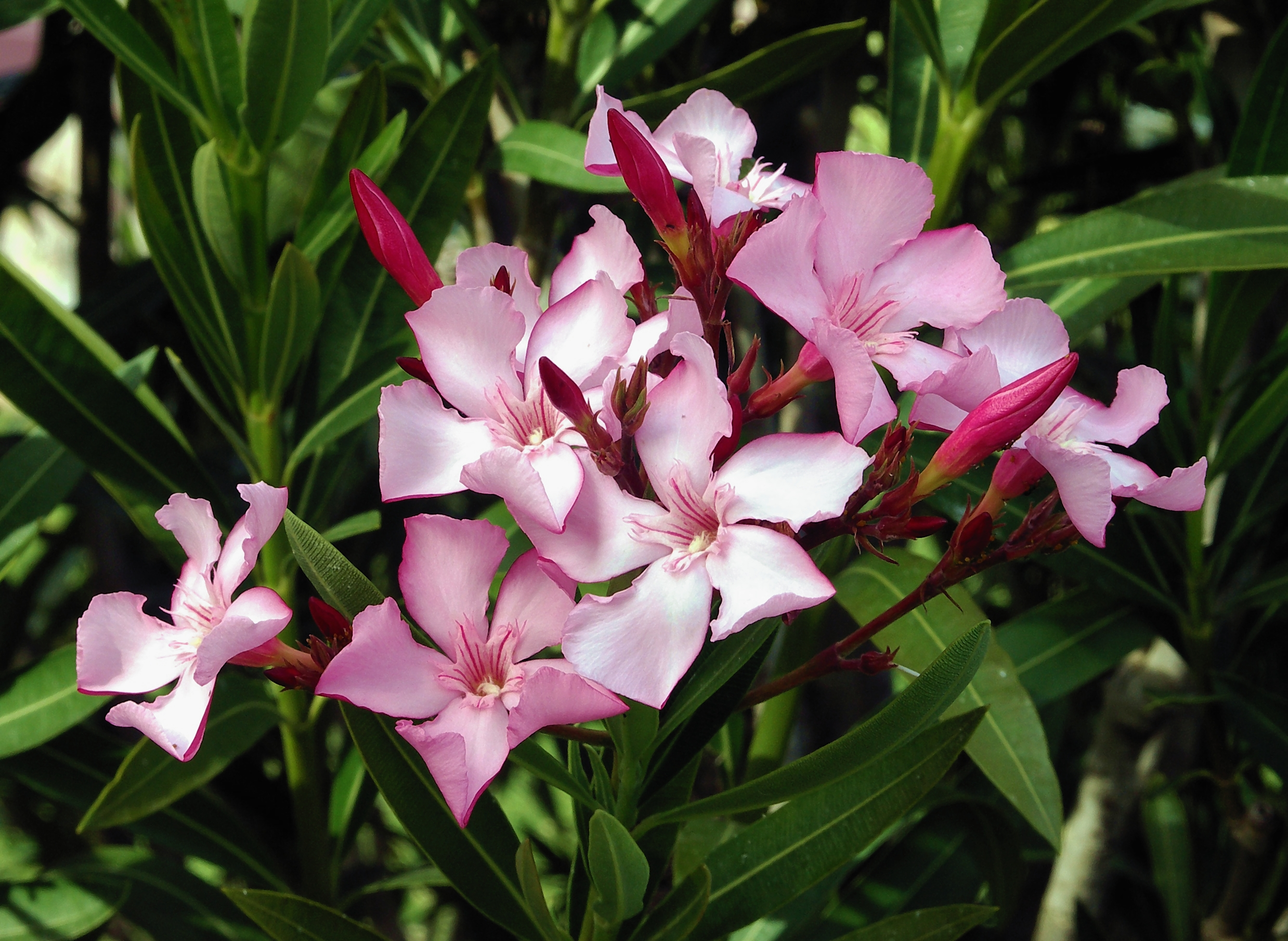 A pink bunch of oleander flours are open with some buds against thin green leaves