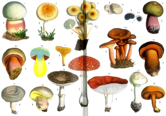 17 poisonous mushrooms of various colors on two pages, illustrated to show all parts