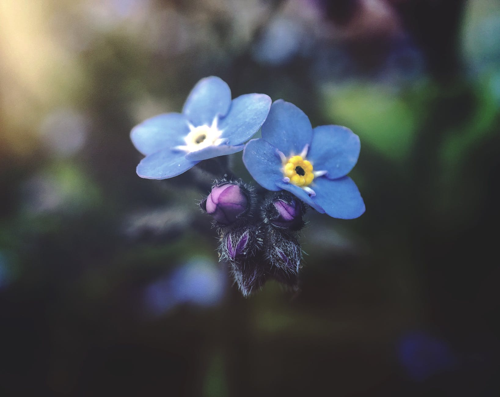 Two forget-me-not flowers